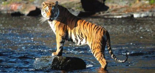 Тигры в опасности