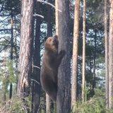 Внезапная встреча с Медведицей и тремя Медвежатами