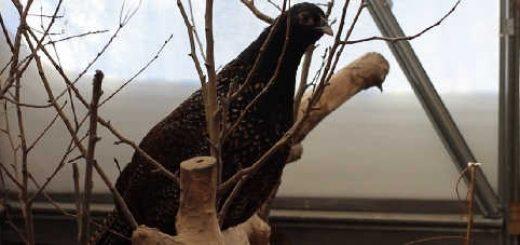 Гибриды фазанов