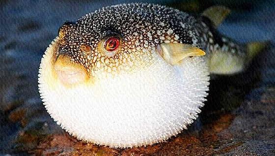 Черноморская рыба фугу