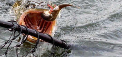 Ловля щуки осенью на ямах