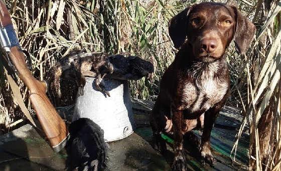 Охота на Чирка собакой