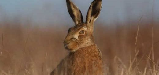 Охота на зайца с Русской гончей в октябре 2019