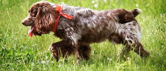 Обучение щенка Русский спаниель в 10 месяцев
