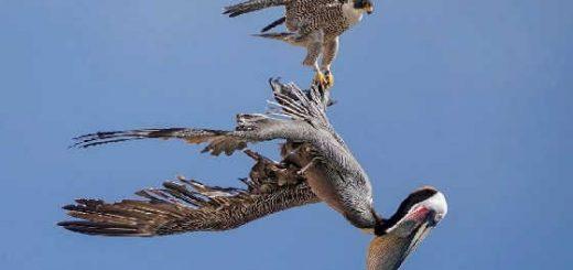 На что способен сокол против пеликанов, змеи, утки и гуся