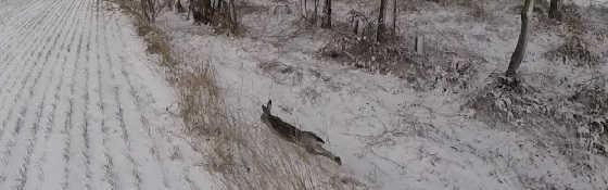Охота на зайца По снегу с дратхааром