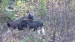 Охота на лося с собаками в Финляндии