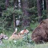 Работа лаек по медведю