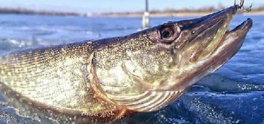 Ловля хищной рыбы в Астрахани