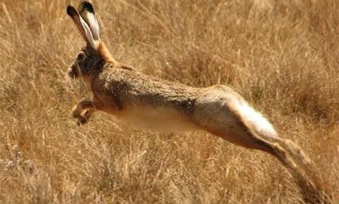 О повадках зайца и охоте на него