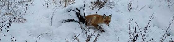 Охота на лису норная