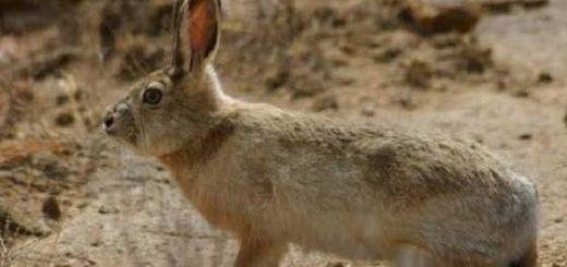ОХОТА на зайца песчаника