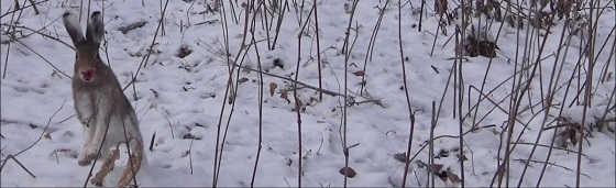 Охота на зайца с Русскими гончими в 2019