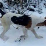 Охота с эстонской гончей в Сибири