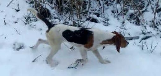 Охота на зайца зимой с эстонскими гончими