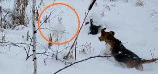 Охота на зайца с гончими по глубокому снегу