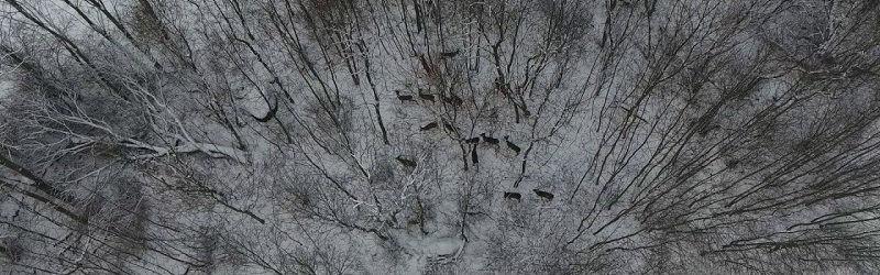 Благодаря квадрокоптеру удалось засечь стаю косуль в лесу