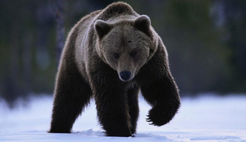Медведь - один из представителей животного мира России