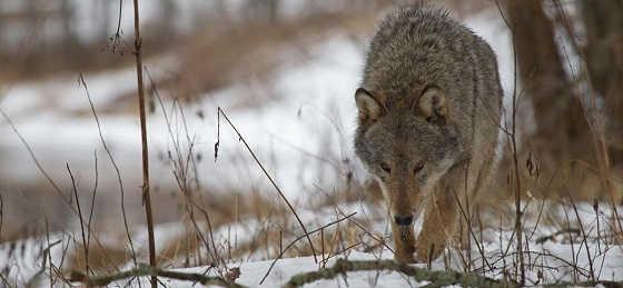 Как охотнику бороться с волками
