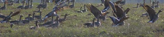 Охота на гусей в Заполярье