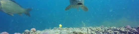 Ловля карпа на кукурузу: подводная съёмка