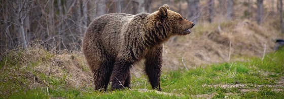 Добыча медведя в начале сезона