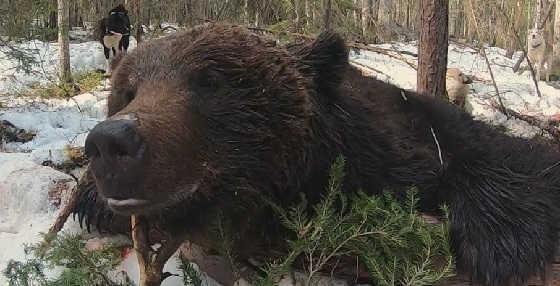 Охота на большого медведя с лайками