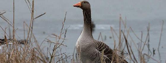 Охота на гуся весна