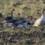 Охота на гусей: Проблемы и способы их решения