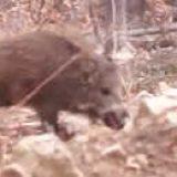 Охота на кабана в Болгарии