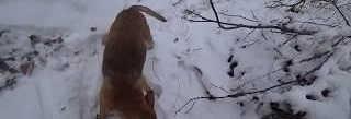 Охота на лис с гончими 2020