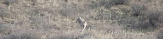 Охота на волка: Выстрел и попадание в кадре