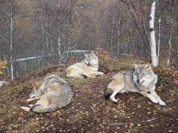 Наедине с волками