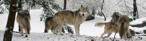 По следам волчьих стай