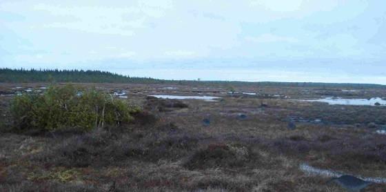 Гусятники на болоте