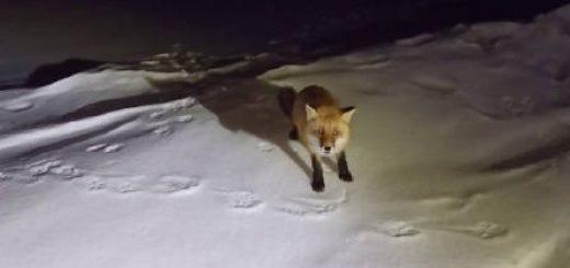 Почему никогда нельзя кормить диких лис