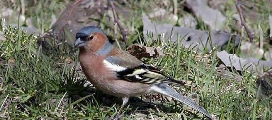 Певчие птицы вокруг нас