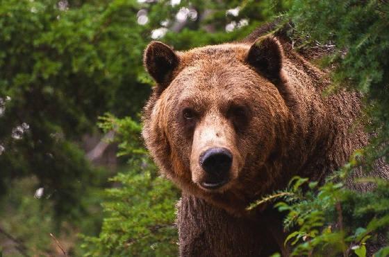 Атака медведя