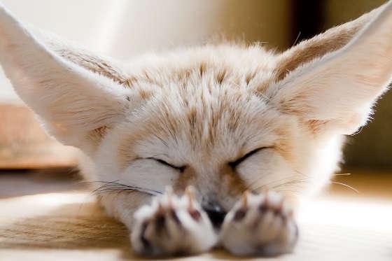 Повадки лисы фенек