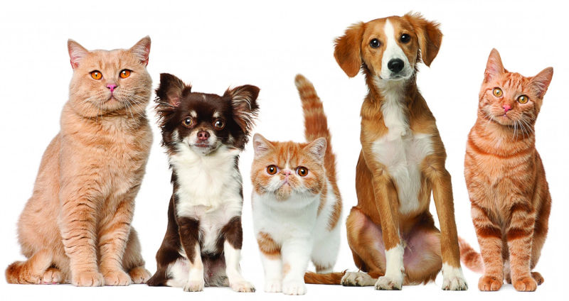 Домашние питомцы: кошки и собаки
