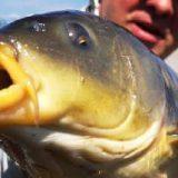 Рыбалка на КАРПА-ВЕЛИКАНА на простую снасть