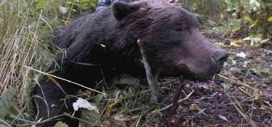 Охота на медведя с лайками в мае 2020