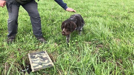 Тренировка собаки в поле с голубями