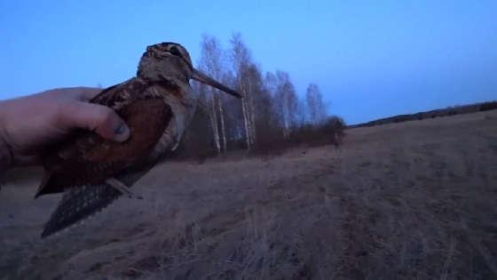 ВАЛЬДШНЕП: Удачная охота на тяге