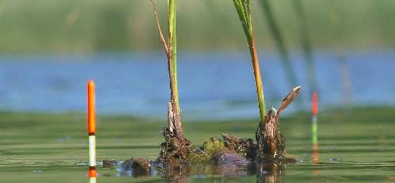 Ловля карася на аквариумный мотыль летом