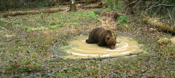 Медведи - таёжные хищники