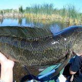 Рыбалка на змееголова