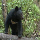 Охота на Гималайского медведя
