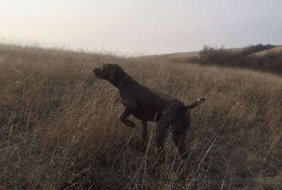 Охота с легавой собакой