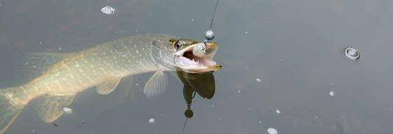Осенний жор щуки: рыбалка на спиннинг